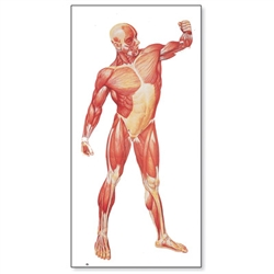 The Human Musculature Chart (Front)
