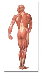 The Human Musculature Chart (Rear)
