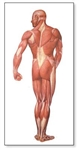 The Human Musculature Chart (Rear) - No Rods