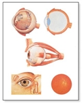 The Eye I Chart, Anatomy