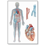 Human Blood Circulation Chart