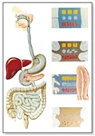 The Digestive System Chart (No Rods)