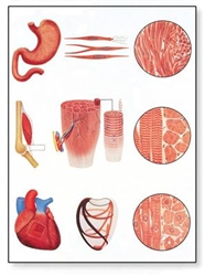 Muscle Tissue Chart (No Rods)