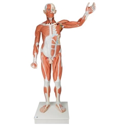 Life Size Male Muscular Figure (37 Part)