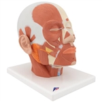 3B Scientific Head Musculature Model Smart Anatomy