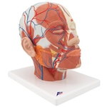 3B Scientific Head Musculature Model with Blood Vessels Smart Anatomy