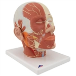 3B Scientific Head Musculature Model with Nerves Smart Anatomy