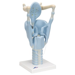 Functional Larynx Model (3 times Full Size)