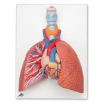 3B Scientific Lung Model with Larynx, 5 Part Smart Anatomy