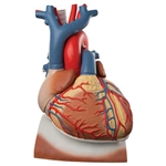 3B Scientific Heart and Diaphragm Model, 3 Times Life-Size, 10 Part Smart Anatomy