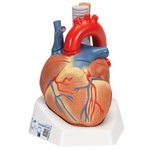 3B Scientific Human Heart Model, 7 Part Smart Anatomy