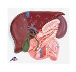 3B Scientific Liver Model with Gall Bladder, Pancreas & Duodenum Smart Anatomy