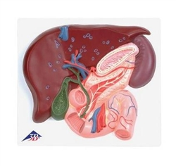 Liver with Gall Bladder, Pancreas and Duodenum