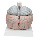 Giant Brain, 2.5 times Full-Size (14 Part)