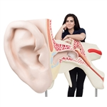 3B Scientific World's Largest Ear Model, 15 Times Full-Size, 3 Part Smart Anatomy