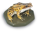 Common Frog Model (Female)