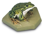 Edible Frog Model (Male)