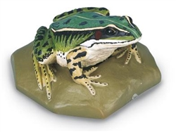Edible Frog Model (Female)