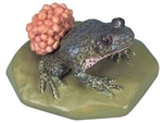 Midwife Toad Model
