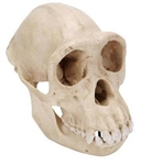 3B Scientific Chimpanzee Skull (Pan Troglodytes), Female. Replica