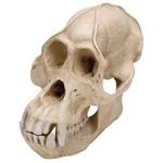 Orangutan Skull Model (Male)