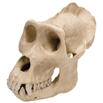 3B Scientific Gorilla Skull (Gorilla), Male, Replica