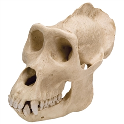 Gorilla Skull Model (Male)