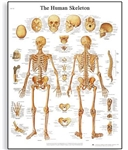 3B Scientific Human Skeleton Chart