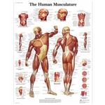 3B Scientific Human Muscle Chart