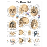 3B Scientific Human Skull Chart
