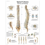 3B Scientific Spinal Column Chart