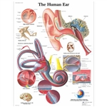 3B Scientific Human Ear Chart