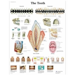 3B Scientific The Teeth Chart