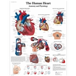 3B Scientific The human heart Chart, Anatomy and Physiology