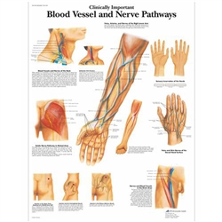 Clinically Important Blood Vessel and Nerve Pathways Chart