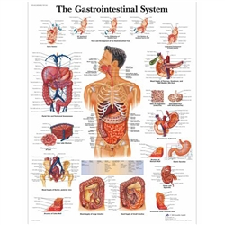The Gastrointestinal System Chart