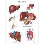 3B Scientific Liver Chart