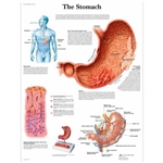 3B Scientific The Stomach Chart