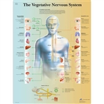 3B Scientific The Vegetative Nervous System Chart