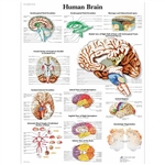 3B Scientific Human Brain Chart