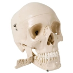 3B Scientific Skull Model with Teeth for Extraction, 4 Part