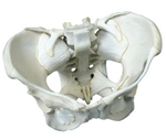 Ligamented Female Pelvis