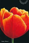 Tulipa Postcards 'Ottawa' (Red Tulip) - Pack of 10