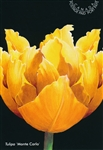 Tulipa Postcards 'Monte Carlo' (Yellow Tulip) - Pack of 10
