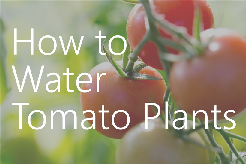 How to Water Tomato Plants in the Garden