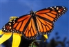 Butterflies - Their Beauty, Conservation and Importance -DVD