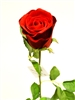 28 Inch Red Rose Silk Flower Stem