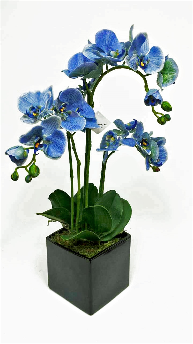 Get blue phalaenopsis orchid flower our mightylinksfo