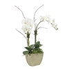 Green White Phalaenopsis Orchid