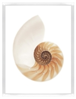 Sea Shell with White II